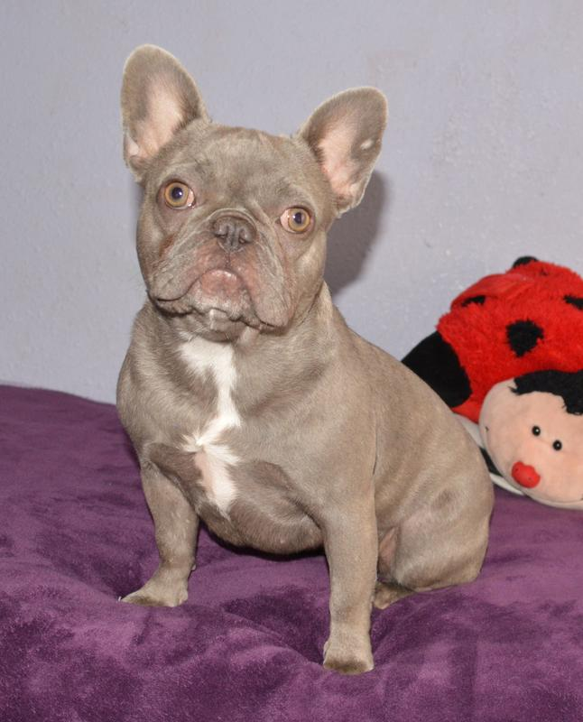 Worlds only ffemale lilac french bulldog